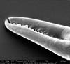 http://mczbase.mcz.harvard.edu/specimen_images/invertebrates/large/134646_Aoraki_denticulata_1.jpg