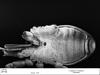 http://mczbase.mcz.harvard.edu/specimen_images/invertebrates/large/134687_Huitaca_depressa_14.jpg