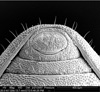 http://mczbase.mcz.harvard.edu/specimen_images/invertebrates/large/134687_Huitaca_depressa_20.jpg