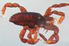 http://mczbase.mcz.harvard.edu/specimen_images/invertebrates/large/134687_Huitaca_depressa_5.jpg