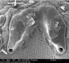 http://mczbase.mcz.harvard.edu/specimen_images/invertebrates/large/134687_Huitaca_depressa_54.jpg