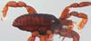 http://mczbase.mcz.harvard.edu/specimen_images/invertebrates/large/134687_Huitaca_depressa_6.jpg