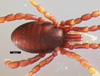 http://mczbase.mcz.harvard.edu/specimen_images/invertebrates/large/134691_Huitaca_tama_4.jpg