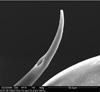 http://mczbase.mcz.harvard.edu/specimen_images/invertebrates/large/134693_Huitaca_ventralis_9.jpg