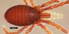 http://mczbase.mcz.harvard.edu/specimen_images/invertebrates/large/134703_Brasiligovea_chiribiqueta_4.jpg