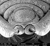 http://mczbase.mcz.harvard.edu/specimen_images/invertebrates/large/134739_Neopurcellia_salmoni_17.jpg
