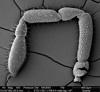 http://mczbase.mcz.harvard.edu/specimen_images/invertebrates/large/134739_Neopurcellia_salmoni_4.jpg
