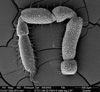 http://mczbase.mcz.harvard.edu/specimen_images/invertebrates/large/134739_Neopurcellia_salmoni_6.jpg