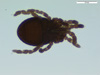 http://mczbase.mcz.harvard.edu/specimen_images/invertebrates/large/136516_Microgovia_oviformis_6.jpg