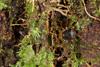 http://mczbase.mcz.harvard.edu/specimen_images/invertebrates/large/136518_Saramacia_lucasae_2.jpg