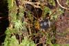 http://mczbase.mcz.harvard.edu/specimen_images/invertebrates/large/136518_Saramacia_lucasae_3.jpg