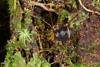 http://mczbase.mcz.harvard.edu/specimen_images/invertebrates/large/136518_Saramacia_lucasae_4.jpg