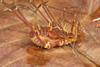 http://mczbase.mcz.harvard.edu/specimen_images/invertebrates/large/136554_Phareicranaus_manauara_1.jpg