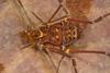 http://mczbase.mcz.harvard.edu/specimen_images/invertebrates/large/136554_Phareicranaus_manauara_5.jpg