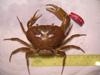 http://mczbase.mcz.harvard.edu/specimen_images/invertebrates/large/137739_Potamocarcinus.jpg