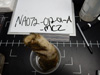 http://mczbase.mcz.harvard.edu/specimen_images/invertebrates/large/137759_acanthascus_1.jpg
