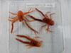 http://mczbase.mcz.harvard.edu/specimen_images/invertebrates/large/139215_Galatheidae_3.jpg