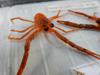 http://mczbase.mcz.harvard.edu/specimen_images/invertebrates/large/139215_Galatheidae_5.jpg