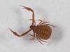 http://mczbase.mcz.harvard.edu/specimen_images/invertebrates/large/139242_Pseudogarypus_bicornis_1.jpg