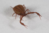 http://mczbase.mcz.harvard.edu/specimen_images/invertebrates/large/139242_Pseudogarypus_bicornis_10.jpg
