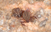 http://mczbase.mcz.harvard.edu/specimen_images/invertebrates/large/139242_Pseudogarypus_bicornis_12.jpg