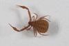 http://mczbase.mcz.harvard.edu/specimen_images/invertebrates/large/139242_Pseudogarypus_bicornis_7.jpg