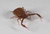 http://mczbase.mcz.harvard.edu/specimen_images/invertebrates/large/139242_Pseudogarypus_bicornis_8.jpg