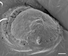 http://mczbase.mcz.harvard.edu/specimen_images/invertebrates/large/140061_Neogovea_mata_12.jpg