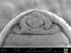 http://mczbase.mcz.harvard.edu/specimen_images/invertebrates/large/140062_Neogovea_matawai_42.jpg