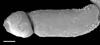 http://mczbase.mcz.harvard.edu/specimen_images/invertebrates/large/140062_Neogovea_matawai_9.jpg