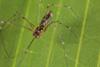 http://mczbase.mcz.harvard.edu/specimen_images/invertebrates/large/141250_Meringa_2.jpg