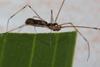 http://mczbase.mcz.harvard.edu/specimen_images/invertebrates/large/141250_Meringa_4.jpg