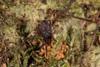 http://mczbase.mcz.harvard.edu/specimen_images/invertebrates/large/143900_Neogoveidae_3.jpg