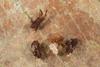 http://mczbase.mcz.harvard.edu/specimen_images/invertebrates/large/143901_Neogoveidae_1.jpg