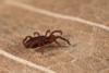http://mczbase.mcz.harvard.edu/specimen_images/invertebrates/large/143901_Neogoveidae_11.jpg