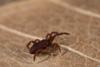 http://mczbase.mcz.harvard.edu/specimen_images/invertebrates/large/143901_Neogoveidae_12.jpg