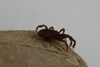 http://mczbase.mcz.harvard.edu/specimen_images/invertebrates/large/143901_Neogoveidae_14.jpg