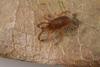 http://mczbase.mcz.harvard.edu/specimen_images/invertebrates/large/143901_Neogoveidae_3.jpg