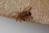 http://mczbase.mcz.harvard.edu/specimen_images/invertebrates/large/143901_Neogoveidae_4.jpg
