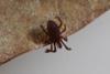 http://mczbase.mcz.harvard.edu/specimen_images/invertebrates/large/143901_Neogoveidae_5.jpg