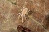 http://mczbase.mcz.harvard.edu/specimen_images/invertebrates/large/143901_Neogoveidae_6.jpg