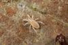 http://mczbase.mcz.harvard.edu/specimen_images/invertebrates/large/143901_Neogoveidae_8.jpg