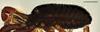 http://mczbase.mcz.harvard.edu/specimen_images/invertebrates/large/143902_Brasiligovea_1.jpg