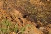 http://mczbase.mcz.harvard.edu/specimen_images/invertebrates/large/143905_Neogoveidae_4.jpg
