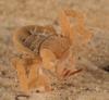 http://mczbase.mcz.harvard.edu/specimen_images/invertebrates/large/143922_Cryptocellus_10.jpg