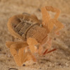 http://mczbase.mcz.harvard.edu/specimen_images/invertebrates/large/143922_Cryptocellus_11.jpg
