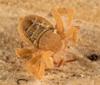 http://mczbase.mcz.harvard.edu/specimen_images/invertebrates/large/143922_Cryptocellus_12.jpg