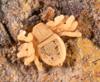 http://mczbase.mcz.harvard.edu/specimen_images/invertebrates/large/143922_Cryptocellus_13.jpg