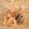 http://mczbase.mcz.harvard.edu/specimen_images/invertebrates/large/143922_Cryptocellus_4.jpg