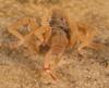 http://mczbase.mcz.harvard.edu/specimen_images/invertebrates/large/143922_Cryptocellus_6.jpg